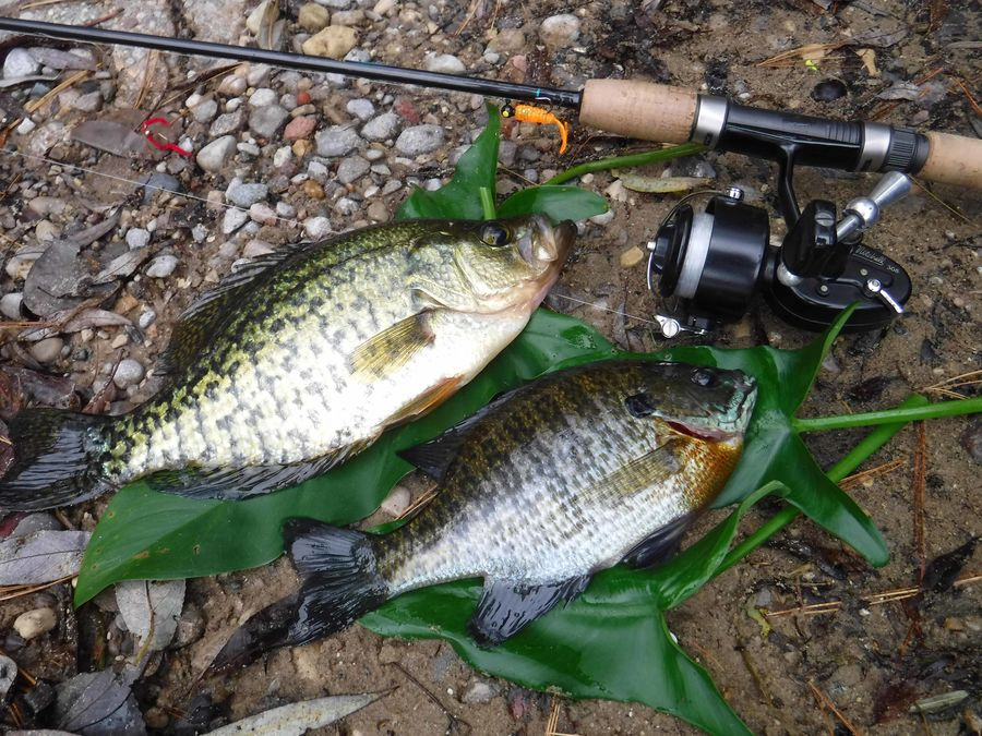 Crappie at 10-1/2 inches. Not like the jumbo's fro...