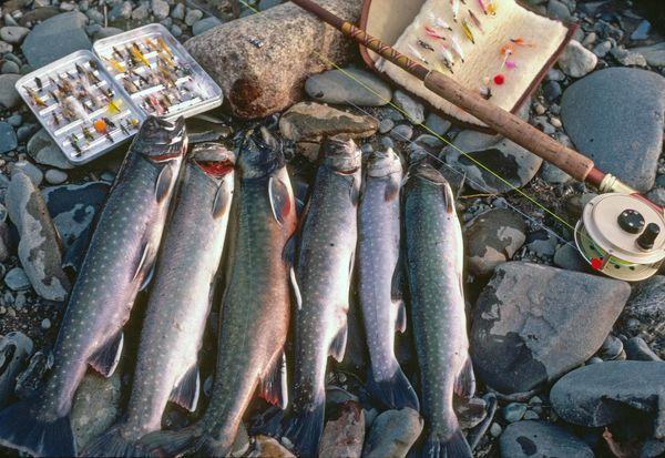 dolly varden - Ninilchik River (North of Homer, AK...