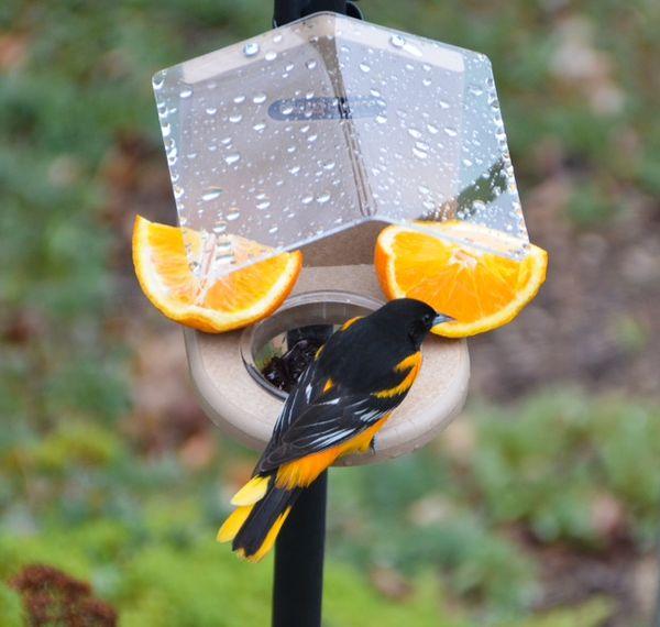 Baltimore Oriole enjoying a sip of orange juice an...