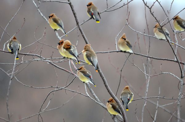 Cedar Waxwings waiting for a morning bug hatch to ...